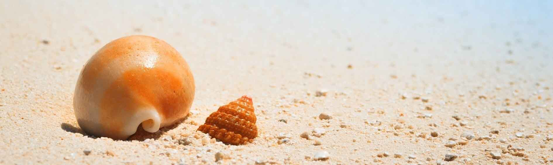 Two orange shells on the beach of tan colored sand